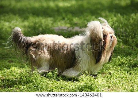 Shih Tzu Dog - stock photo