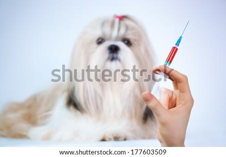 Shih tzu dog and medical syringe. Focus on hand. - stock photo