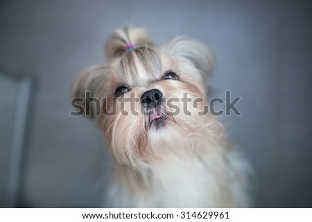 Shih tzu dog asking for something to eat. Focus on nose. - stock photo