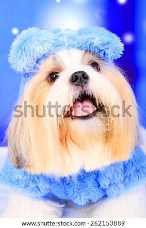 Shih tzu dog / cream / dog in blue shirt / winter dog / fashion dog / long hair dog / grooming dog / Chinese dog / dog in blue background / snow dog  - stock photo