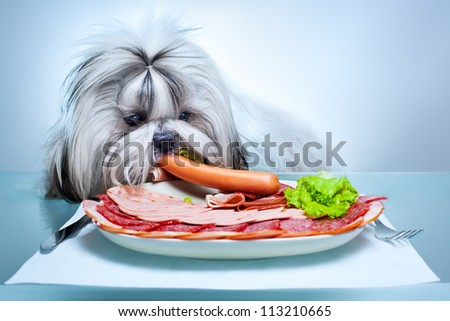 Shih tzu dog eating delicacy.