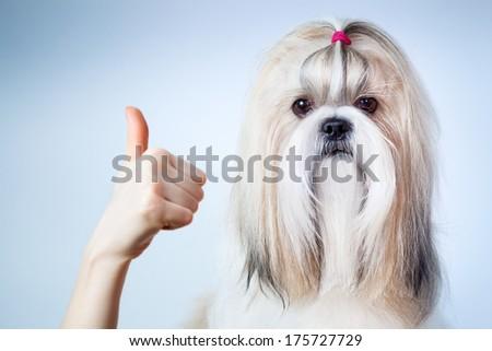 Shih tzu dog handsign. On blue and white background. - stock photo