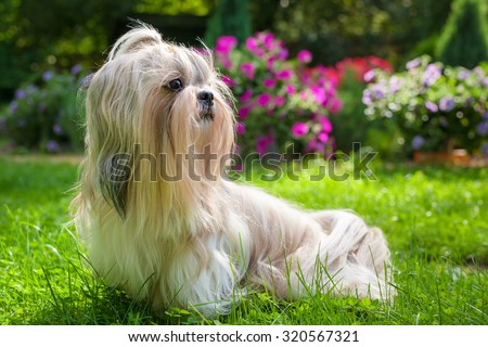 Shih tzu dog in garden with flowers on green grass. - stock photo