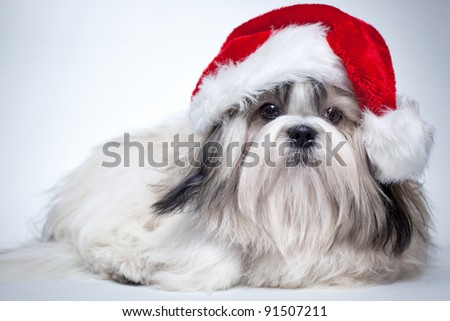 Shih tzu dog in santa hat.