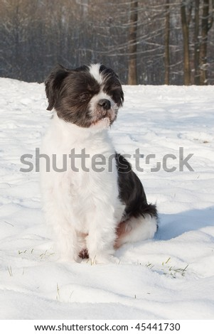 Shih Tzu dog in the snow