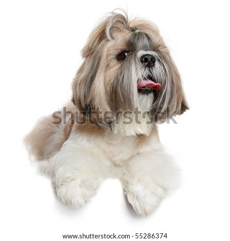 Shih tzu dog, isolated on a white background - stock photo