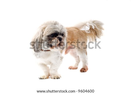 shih tzu dog isolated on a white background