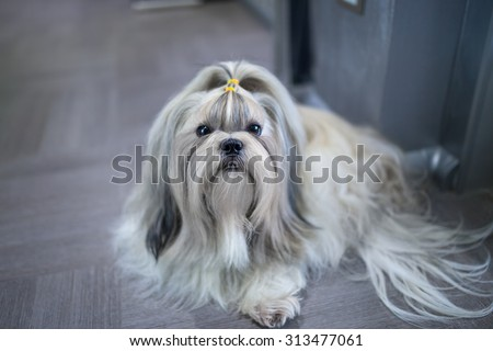 Shih tzu dog lying in home interior. - stock photo