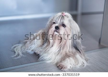 Shih tzu dog lying in home interior - stock photo