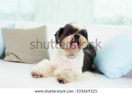 Shih-tzu dog lying on sofa between two pillows - stock photo