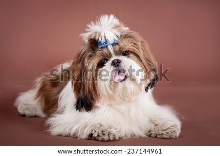 Shih Tzu dog on a brown background - stock photo