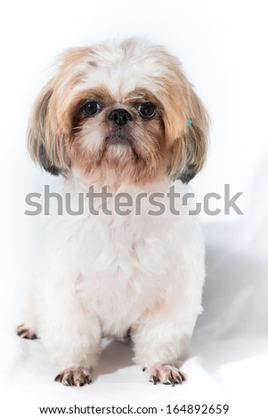 Shih tzu dog on a studio light - stock photo