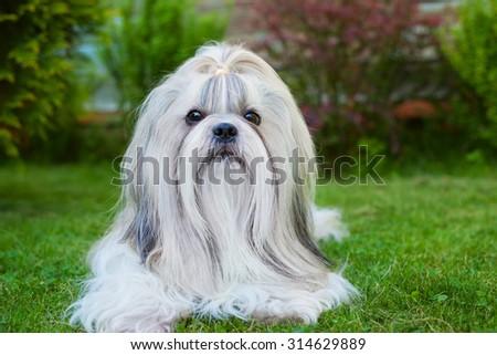 Shih tzu dog on green grass portrait. - stock photo