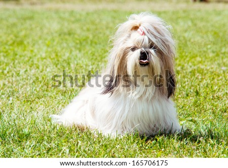 Shih Tzu Dog outdoor portrait - stock photo