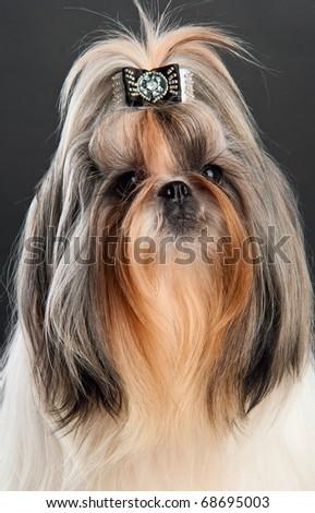 Shih tzu dog, over dark background - stock photo