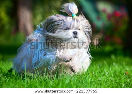 Shih tzu dog running in garden. - stock photo