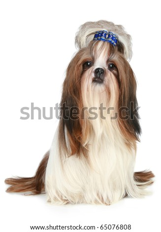 Shih tzu dog sits on a white background - stock photo