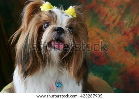 Shih Tzu dog sitting in studio  - stock photo