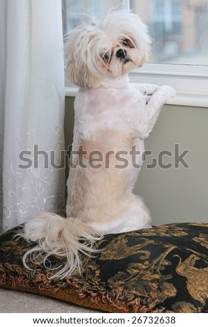Shih Tzu Dog sitting on a pillow at a window. - stock photo