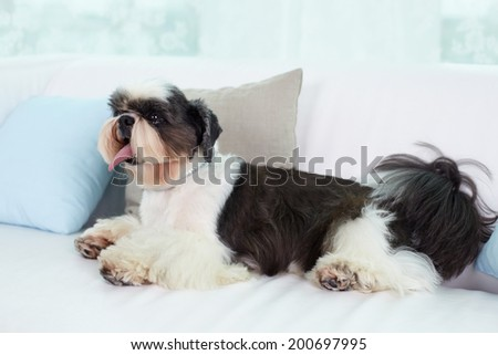 Shih-tzu dog sitting on sofa - stock photo