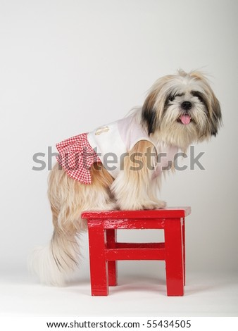 Shih tzu dog stand on the red stool in white background. - stock photo