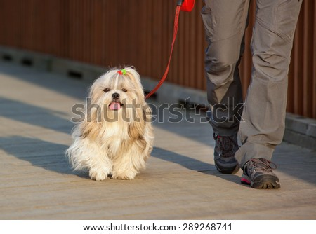 Shih-tzu dog walking with woman in city. - stock photo