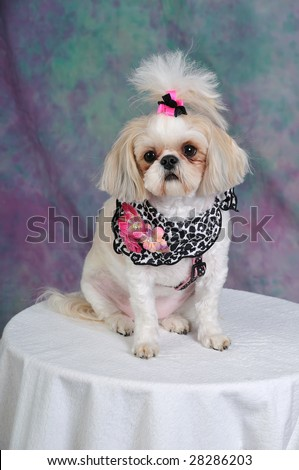 Shih Tzu Dog with a short summer haircut and bows in her pigtails, sitting pretty.