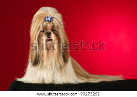 Shih Tzu dog with blue hairpin. Shot full face in studio on wine red background - stock photo