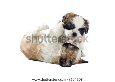 shih tzu dogs isolated on a white background - stock photo