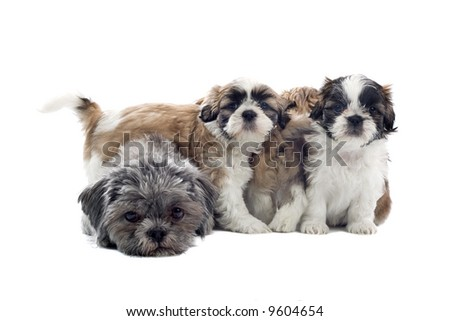 shih tzu dogs isolated on a white background