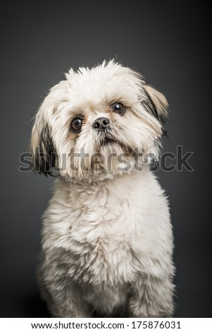 Shih Tzu In Studio With Dark Background - stock photo