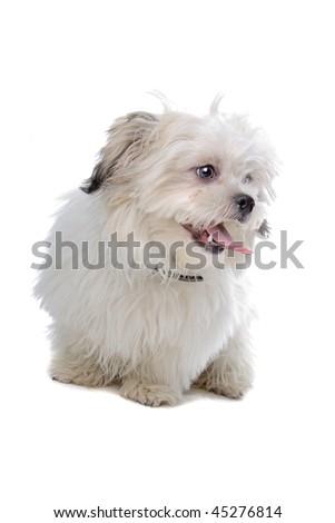 shih tzu isolated on white background - stock photo