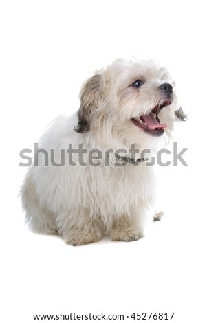 shih tzu isolated on white background - stock photo