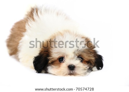 Shih Tzu lying in front of white background - stock photo