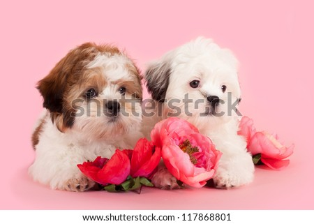 Shih Tzu Maltese cross puppies between flowers - stock photo