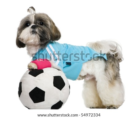 Shih Tzu, 18 months, dressed with soccer ball, in front of white background - stock photo