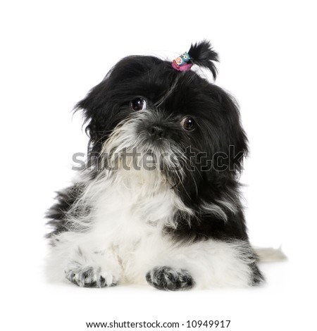 Shih Tzu (4 months) in front of a white background - stock photo