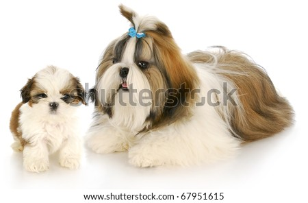 shih tzu mother and puppy with refection on white background - stock photo