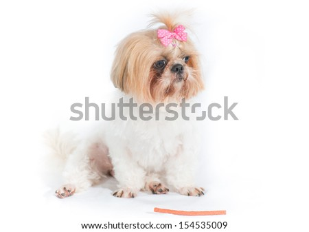 Shih Tzu or Chi Tzu dog on a white background - stock photo