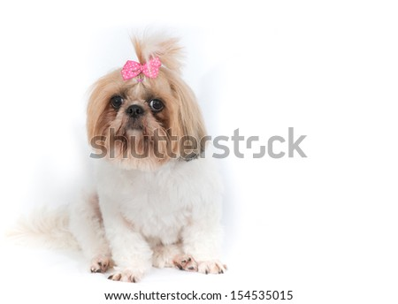 Shih Tzu or Chi Tzu dog on a white background - stock photo