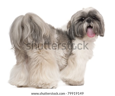 Shih Tzu panting, 2 years old, in front of white background - stock photo