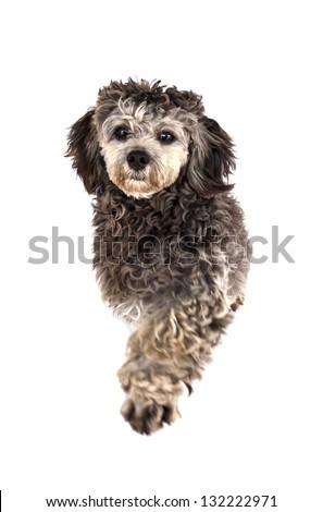 Shih tzu poodle mixed paw on white background - stock photo