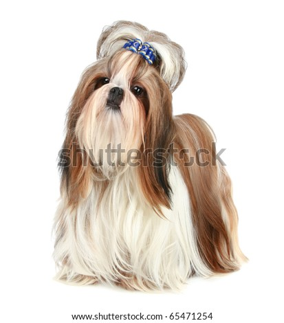 Shih tzu poses on a white background - stock photo