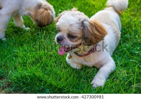 Shih Tzu puppies aged 6 months - stock photo