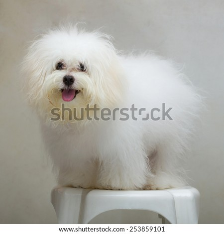 Shih tzu puppy breed tiny dog on the chair - stock photo