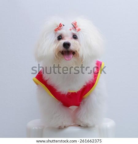 Shih tzu puppy breed tiny dog on white background - stock photo