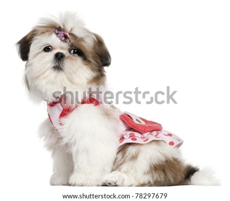 Shih Tzu puppy dressed up, 3 months old, sitting in front of white background - stock photo