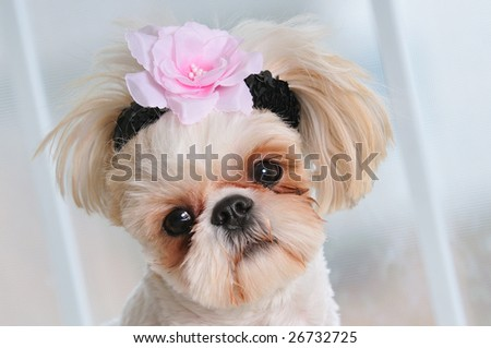Shih Tzu Puppy Eyes - close-up shot of a sweet little female Shih Tzu with a flower in her hair and a sweet expression.