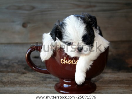 Shih Tzu puppy in a coffee mug with the word chocolate on it. - stock photo