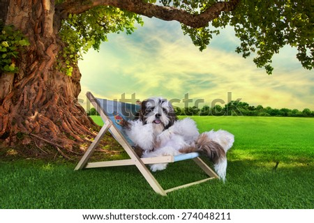 shih tzu puppy is resting on the grass under a tree on a summer day - stock photo